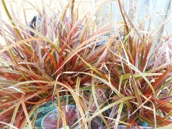 Uncinia Rubra Grass from Dunwiley Nurseries, Co. Donegal, Ireland