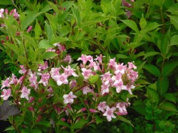 Weigela from Dunwiley Nurseries Ltd., Stranorlar, Co. Donegal, Ireland
