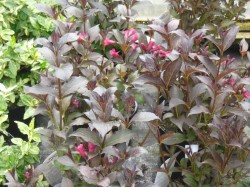 Weigelia 'Magical Fantasy' from Dunwiley Nurseries Ltd., Stranorlar, Co. Donegal, Ireland