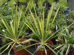 Yucca flaccida 'Golden Sword' from Dunwiley Nurseries Ltd., Stranorlar, Co. Donegal, Ireland