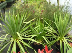 Yucca gloriosa from Dunwiley Nurseries Ltd., Stranorlar, Co. Donegal, Ireland